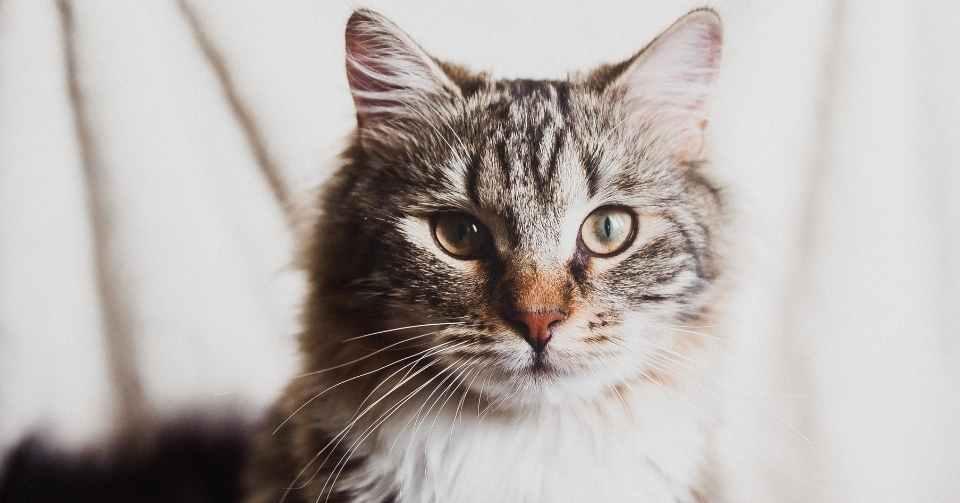 【猫の飼い主は必見】猫の必須アミノ酸 タウリン