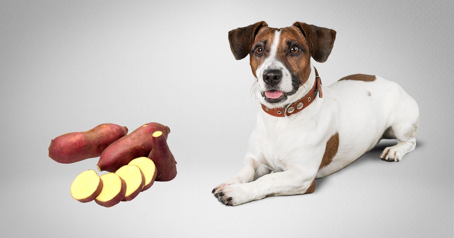 愛犬にさつまいもを与えても大丈夫?ペット栄養管理士が効能や注意点を解説
